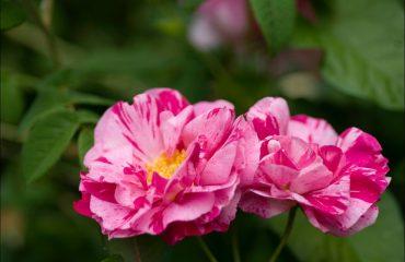 rose del monferrato